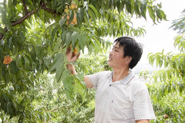 北仑本地水蜜桃上市 黄桃和蟠桃预计7月中旬上市