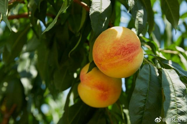 奉化今年水蜜桃销售总产值超5亿 相较去年增幅17.3%