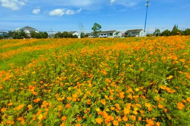 约37亩 奉化方桥竺家村硫华菊花海进入最佳赏花期