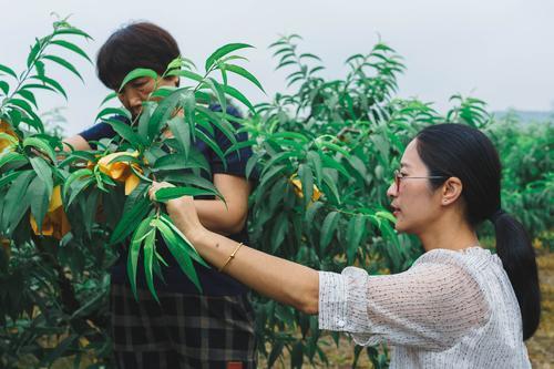 奉化桃农给水蜜桃抢包套袋 为今年丰产丰收打下基础