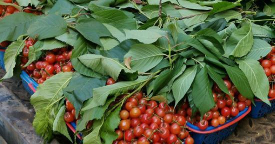随着气温回升宁波本地小樱桃上市 尝鲜季就在这一周