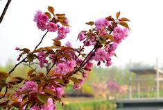 大沽河旅游度假区花红柳绿