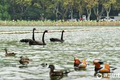 杭州三只黑天鹅漫游西湖