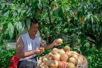 奉化水蜜桃行情变好 优质水蜜桃每公斤售价12-16元