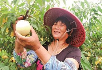 绿海洲生态农场进入采摘期 蜜露桃销量蒸蒸日上