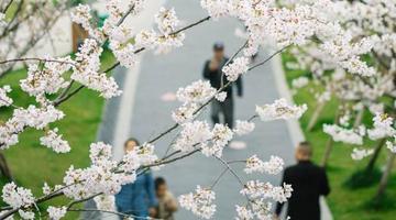 樱花公园再次展现樱花美景