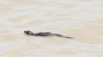 象山韭山列岛现国家二级保护动物水獭