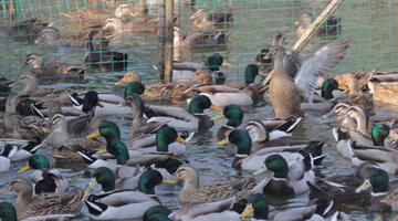 奉化水鸭被录入省畜禽遗传资源名录