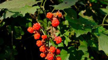 宁波秋季12种野果逐渐成熟