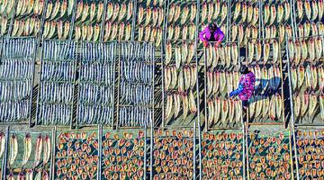 象山茅洋乡村民们忙着晾晒鱼鲞