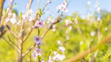 春色满园关不住溪口桃花已盛开