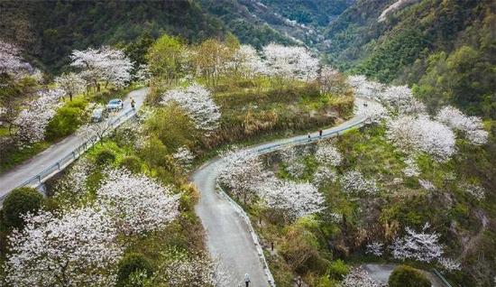 奉化溪口镇樱花进入盛放期 吸引游客前往欣赏春色
