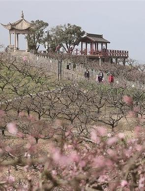 林家村王家山桃园万亩桃花陆续盛开