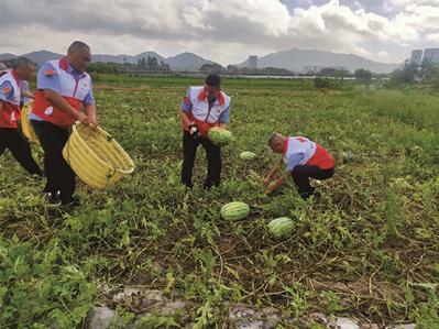 象山县志愿者助农抢收西瓜 共采摘西瓜500公斤左右