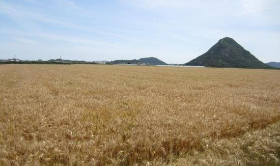 甬小麦总产量预计达5.62万吨 为近二十年面积最大
