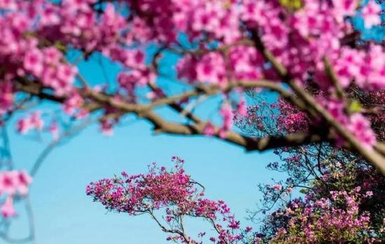 金峨杜鹃花文化旅游节将在奉化西坞街道金峨村举行