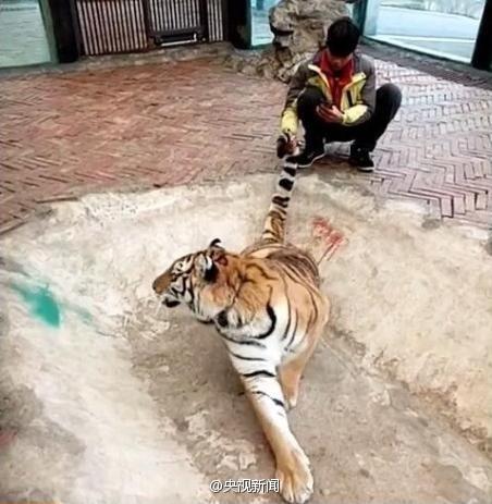 动物园回应虐虎事件:饲养员与幼虎嬉戏