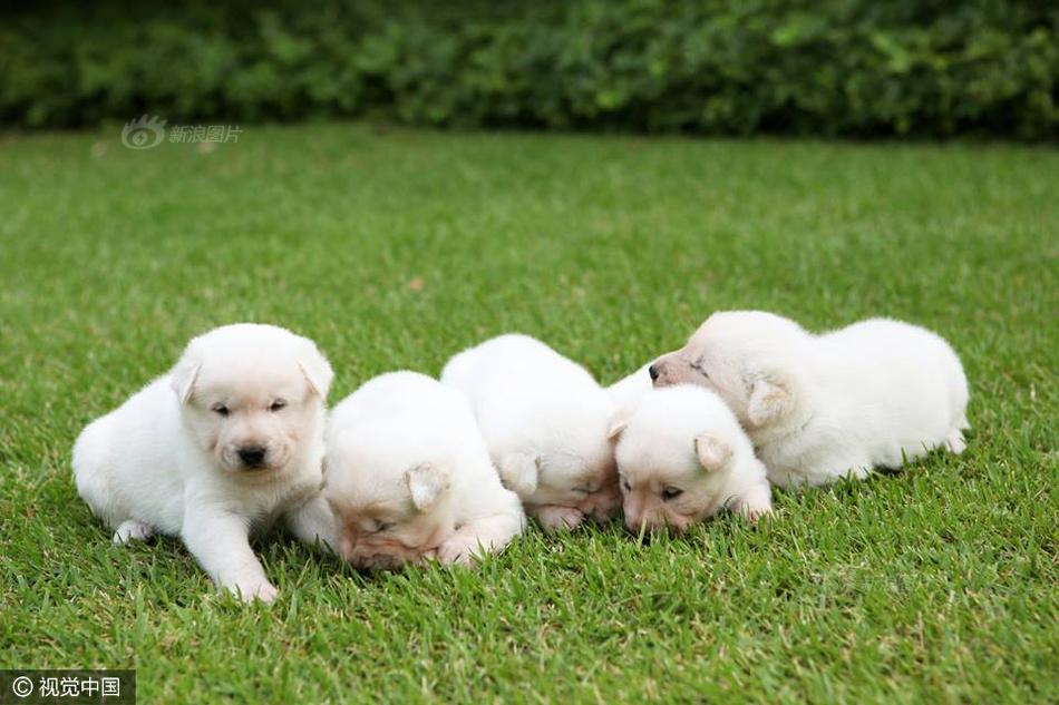 礼物送出的2只珍岛狗,其后2只小狗又下了7只崽.图为5只狗崽.-