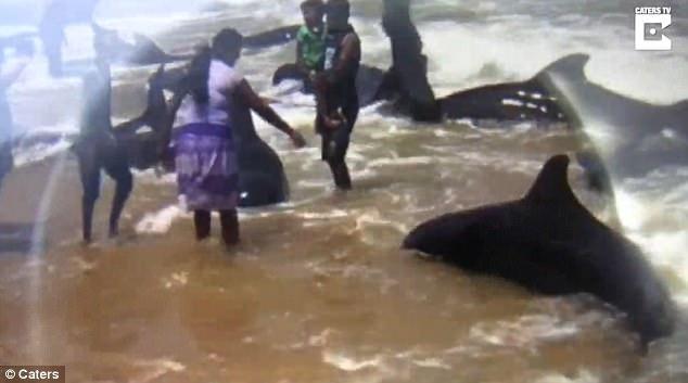 飓风袭来 20条鲸鱼被冲上岸