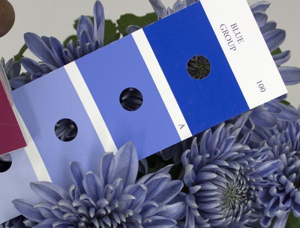 世界首例!日本科学家耗时13年培育出蓝色菊花