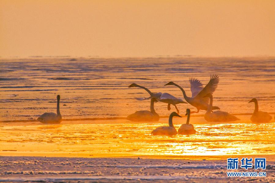 夕阳下,天鹅在湖水中翩翩起舞.新华网发(李爱民摄)(资料图片)图片