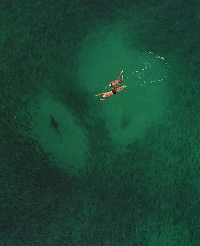 两名男子海里游泳身下8条鲨鱼正在捕食