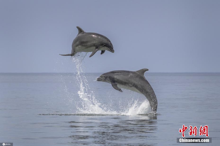 寬吻海豚躍出水面