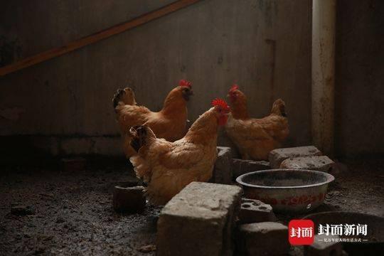 戴石宗养在自家楼顶的鸡