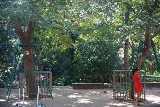 海口人民公园内现存的大黄花梨树