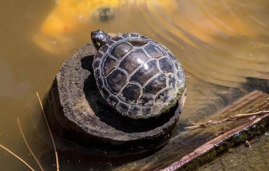 龟鳖或是新冠病毒中间宿主?专家回应不可能图片