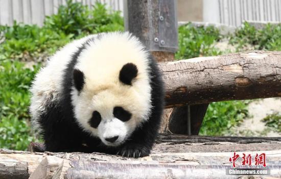 资料图:卖萌的熊猫宝宝。安源摄