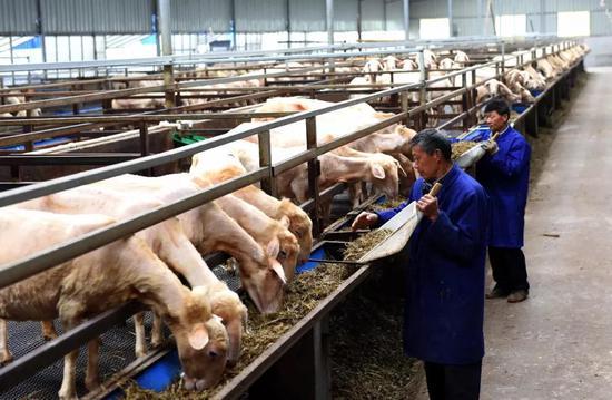 开肥,工人正正在按尺度化养殖法给羊喂草,图片滥觞@VCG