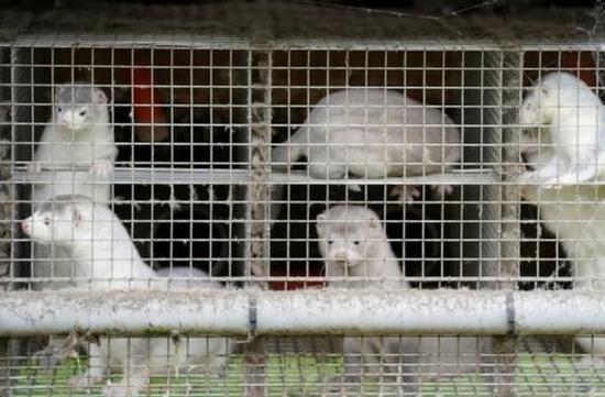 丹麦政府叫停大规模水貂捕杀计划 已宰杀约250万只