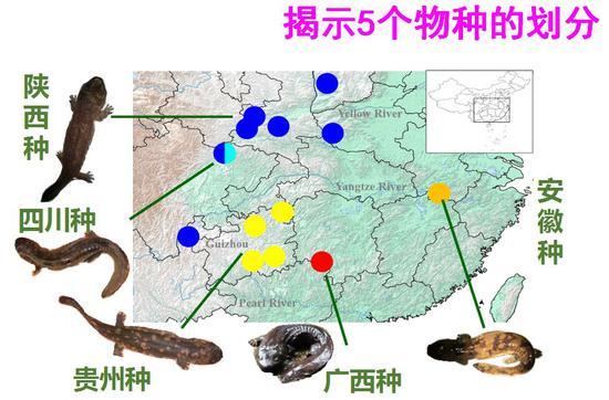 研究揭示中国大鲵至少由5个物种(有可能为8个)组成