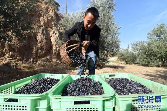 在甘肃省陇南市武都区汉王镇,一名男子将采摘的油橄榄倒入收纳箱(2018年10月30日摄)。新华社记者 范培珅 摄
