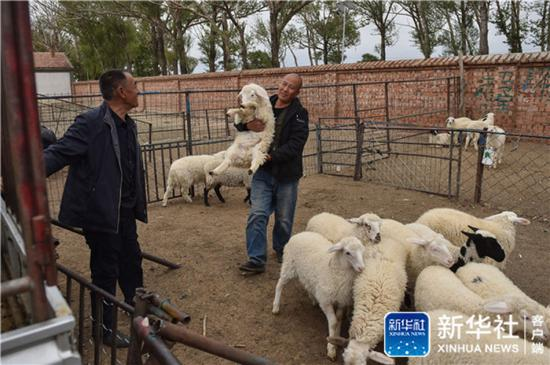 ↑6月11日,在内蒙古乌兰察布市白祥家的围栏里,王燕平(右)抱起羊预备装车。新华社记者 彭子洋 摄