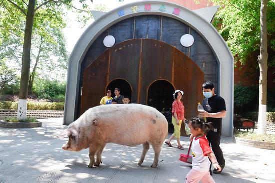 """2020年5月,""""猪坚强""""在别墅前散步。当年1月,猪坚强""""搬进独栋别墅,这是一套外形设计呈猪型的独栋建筑,50平方米面积,分成猪生活区和游人参观区。"""