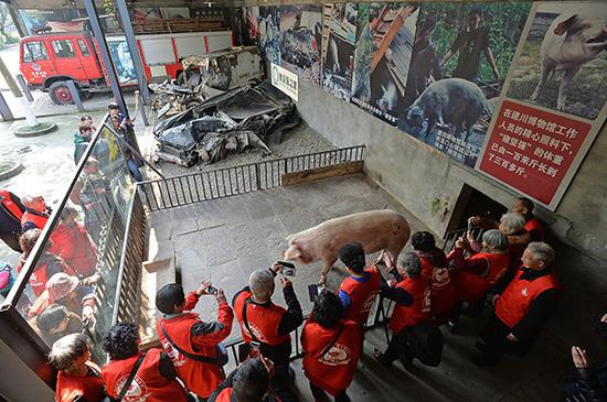 """2017年3月7日,建川博物馆,""""猪坚强""""住所共有一室一厅两间房子。外面的客厅是睡觉和供人观赏之处,里面一间是它吃饭睡觉洗澡的地方。"""