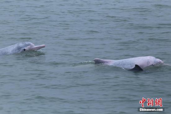 资料图:中华白海豚嬉戏。于海 摄