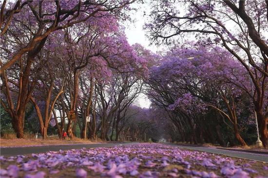 在津巴布韦首都哈拉雷,蓝花楹盛开。(新华社发,陈雅琴2016年10月2日摄)
