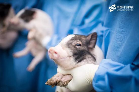 图为亨廷顿舞蹈病基因敲入猪 图片来源:科普中国
