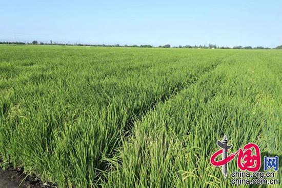 新疆天业(集团)有限公司膜下滴灌水稻示范基地(摄影:李培刚)
