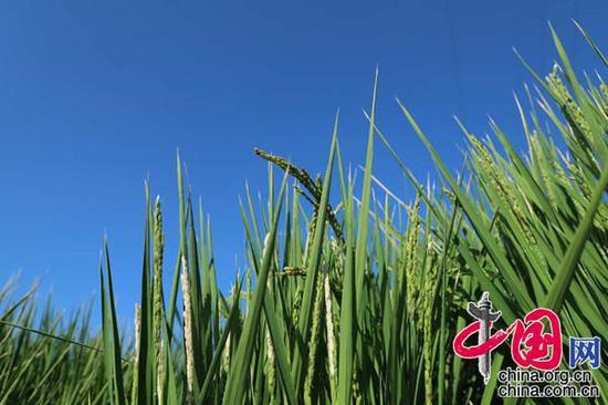 稻田里丰满的稻穗(摄影:李培刚)