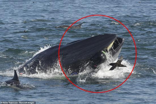 鲸鱼把施姆弗的上半身全都吞进去了