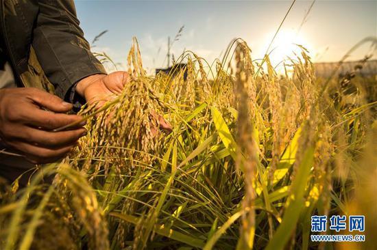 在吉林省舒兰市平安镇,农民在稻田间观察稻穗灌浆情况(2018年9月18日摄)。新华社记者 许畅 摄