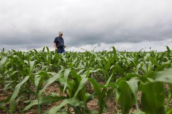 6月18日,在美国艾奥瓦州大西洋镇,农场主比尔·佩雷特在自家的玉米地里查看玉米生长情况。新华社记者王迎摄