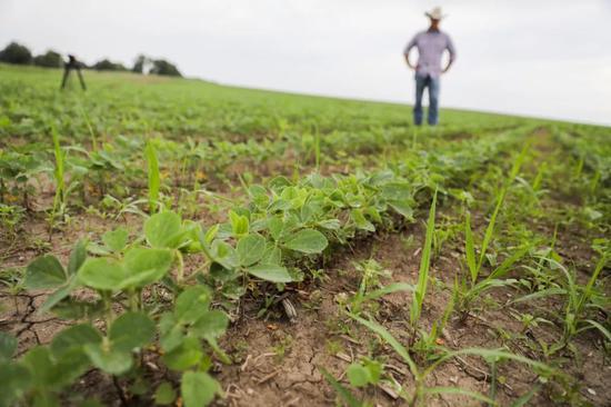 6月18日,在美国艾奥瓦州大西洋镇,农场主比尔·佩雷特的儿子杰伊·佩雷特在自家田地里查看大豆的生长情况。新华社记者王迎摄