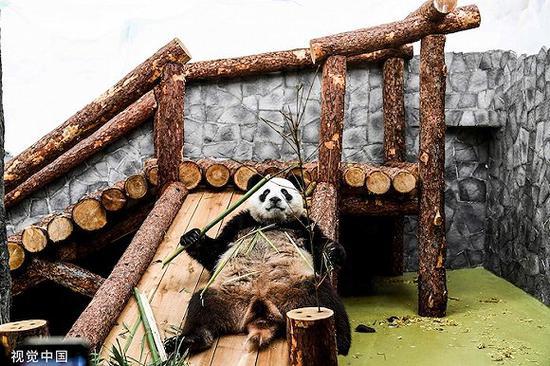 """莫斯科植物园的年夜熊猫。2019年4月29日,""""快意""""战""""丁丁""""分开故乡四川,离开俄罗斯,开启为期15年的客居糊口。图片滥觞:视觉中国"""