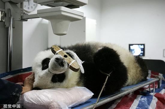 2005年5月9日,祸州年夜熊猫研讨中间1号年夜熊猫正在北京军区祸州总病院体检。图片滥觞:视觉中国