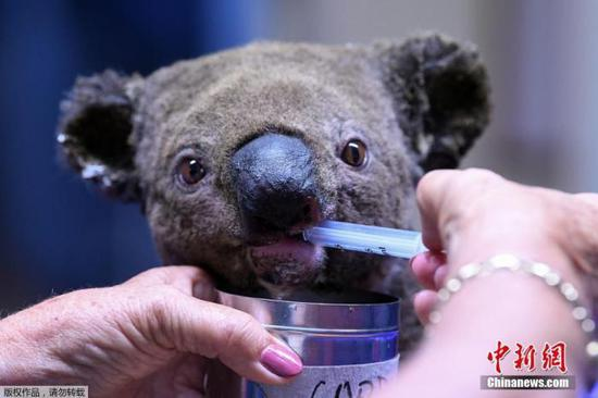 当地时间2019年11月2日,澳大利亚麦夸里港,一只脱水受伤的考拉在麦夸里港考拉医院接受治疗。